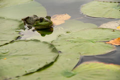 A frog hiding in the lilypads Royalty Free Stock Photography