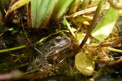 Common Frog in pond vegetation. A frog hiding in pond vegetation, part submerged Stock Photos