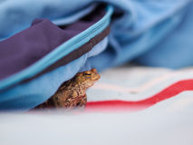 Frog hiding under a jacket. A frog hides under a jacket on a picknick cloth Stock Photos