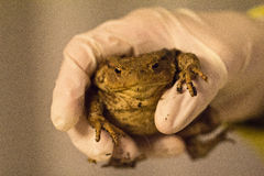 Frog. Holding a hand in rubber glove stock photos