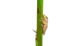 Frog holding plant stem Stock Images