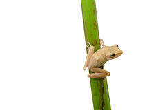 Frog holding plant stem Stock Photos