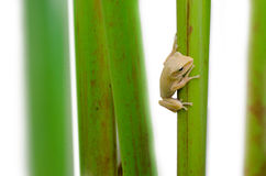Frog holding plant stem Royalty Free Stock Photography