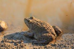 Frog(Hoplobatrachus rugulosus) Stock Photo