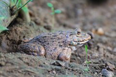 Frog(Hoplobatrachus rugulosus) Stock Image
