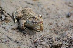 Frog(Hoplobatrachus rugulosus) Stock Images