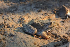 Frog(Hoplobatrachus rugulosus) Royalty Free Stock Photos