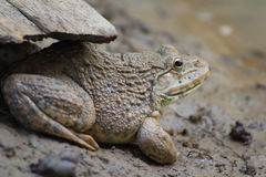 Frog(Hoplobatrachus rugulosus) Royalty Free Stock Photo