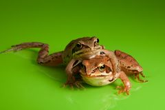 Frog hug Royalty Free Stock Image