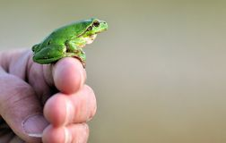 Frog on human fingers Stock Photography