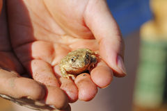Frog in human hands Stock Photography