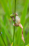Frog Hyla 1 Stock Photos
