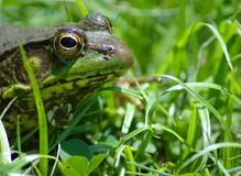 Frog I. Color photo of a common pond frog stock photo