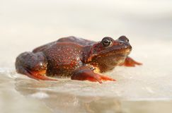 Frog on ice Stock Photography