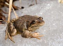 Frog on Ice 7 Stock Image