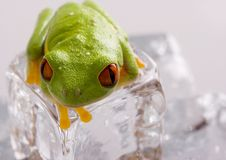 Frog on ice Royalty Free Stock Images
