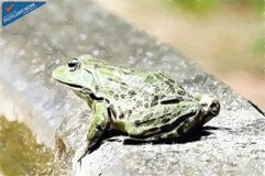Frog - ID: 16235-142735-8650 Royalty Free Stock Photography