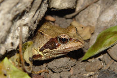Frog II. A European Common Frog (Rana Temporaria) peeping out from under a rock Royalty Free Stock Images