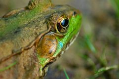 Frog II. Closer view of a common frog stock photo