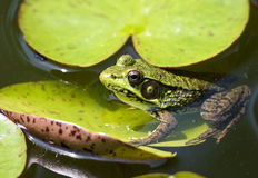Free Frog In A Pond Royalty Free Stock Photography - 9885547