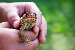 Frog In Hands Royalty Free Stock Photography