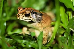 Free Frog In The Grass Royalty Free Stock Photos - 16797248