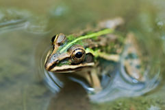 Frog Indian Bullfrog puddle green algae Royalty Free Stock Photography