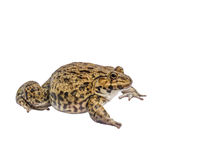 Frog isolate white background with clipping path Stock Photo