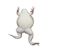 Frog isolate white background with clipping path Stock Photography