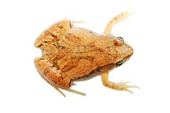 Frog isolated Royalty Free Stock Photos