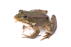 Frog isolated Royalty Free Stock Image