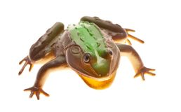 Frog isolated Stock Images