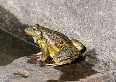 Frog isolated Stock Photography
