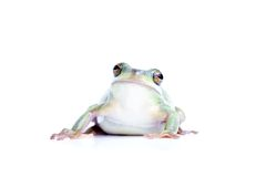 Frog isolated on white Stock Images
