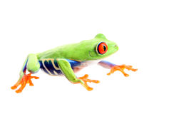 Frog isolated on white Stock Photography