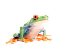 Frog isolated on white. Frog closeup isolated on white - a red-eyed tree frog (Agalychnis callidryas Stock Photography