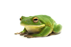 Frog isolated on white. Amphibian frog isolated on white Stock Photography