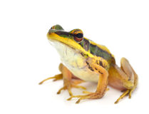 Frog. Isolated on white Backdrop Stock Photo
