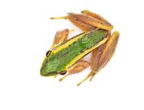Frog. Isolated on white Backdrop Stock Photos
