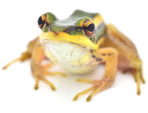 Frog. Isolated on white Backdrop Royalty Free Stock Photos