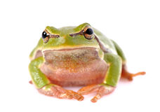 Frog isolated on white background Royalty Free Stock Photography