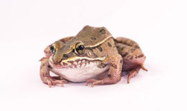 Frog. Isolated on white background royalty free stock images