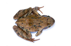 Frog isolated on a white background Royalty Free Stock Image