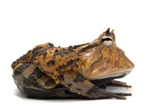 Frog isolated on white. Backgtound Royalty Free Stock Photos