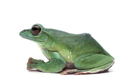Frog isolated on white. Backgtound Royalty Free Stock Images