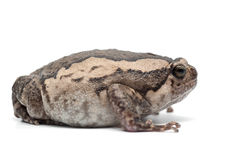 Frog isolated on white. Backgtound Stock Photos