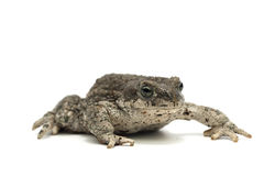 Frog isolated on white. Backgtound Stock Image
