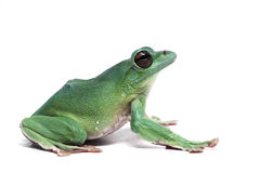 Frog isolated on white. Backgtound Stock Photo