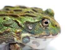 Frog isolated on white. Backgtound Stock Photography