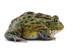 Frog isolated on white. Backgtound Royalty Free Stock Photo